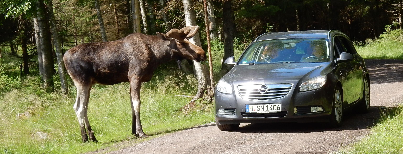 Im Elchpark Smålandet kommt man dem König des Waldes sehr nahe.